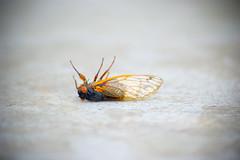 A Bug's Death (J-Bones) Tags: delete10 bug cicada delete9 delete5 delete2 delete6 delete7 save3 delete8 delete3 save7 save8 delete delete4 save save2 save9 save4 save5 save6 delete11 medres 20080602 200806026811