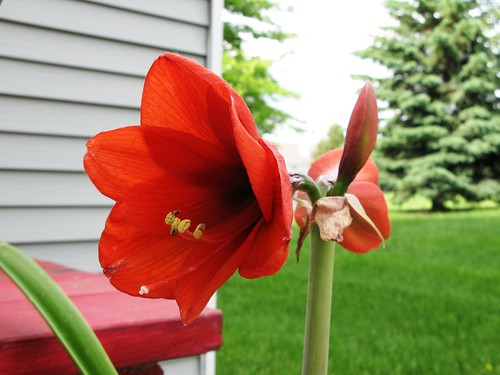 amaryllis_bloomed