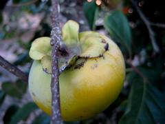 caqui chocolate (parttimefarm) Tags: tree brasil fruit chocolate persimmon echapora cacui