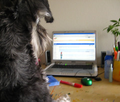 Schnauzer Works on his computer