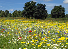 Kirkby wild flower meadow (Mr Grimesdale) Tags: meadow wildflowers knowsley kirkby mrgrimsdale stevewallace olympuse510 mrgrimesdale