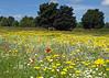 Kirkby wild flower meadow (Mr Grimesdale) Tags: meadow wildflowers knowsley kirkby mrgrimsdale stevewallace olympuse510 mrgrimesdale