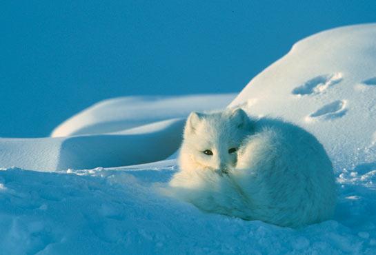 Snow Fox 2