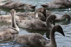 Cygnets update (somersetman) Tags: wells somerset swans cygnets