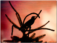 Silhouette (Bloody Nick) Tags: italy cortina birds animals silhouette canon ilovenature 2008 soe animalplanet naturalmente naturesfinest platinumphoto flickrchallengegroup theunforgettablepictures naturewatcher betterthangood life~asiseeit