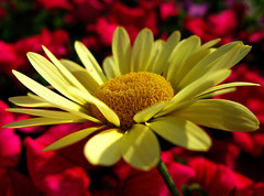 What a wonderful world ... (☜✿☞ Bo ☜✿☞) Tags: anthemistinctoriaecbuxton daisy bokeh yellow garden mupic macro canong9 haribo satchmo 1001nights ngc vpu10 flickrexplore explore flickr