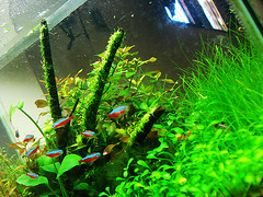New place for riccia (Aquatic Stuff) Tags: fish neon tank aquascape minima riccia fluitans anubias eleocharis parvula