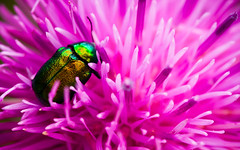 A Bugs Life (Korso87) Tags: pink flower macro green nature colors bug insect fotografinewitaliangeneration