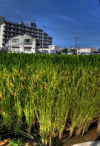 a rice field of my town