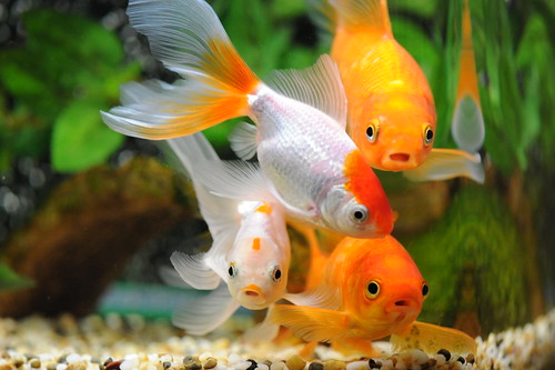 The pros and cons of keeping goldfish my aquarium club for Fish farming pros and cons