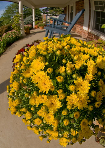 Mums on the Porch