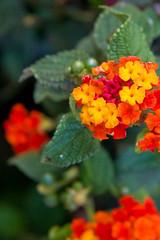 Flowers (teilovesmini) Tags: flower portugal 2008 bidos