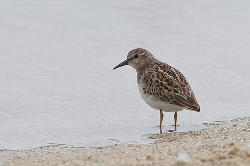 Western Sandpiper by you.