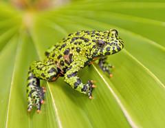 Green on Green Too (Jeff Clow) Tags: macro green nature animals closeup bravo texas amphibian frog explore toad dfw firebelliedtoad jeffclow orientalis bombina bombinaorientalis specanimal