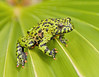 Green on Green Too (Jeff Clow) Tags: macro green nature animals closeup bravo texas amphibian frog explore toad dfw firebelliedtoad jeffclow orientalis bombina bombinaorientalis specanimal