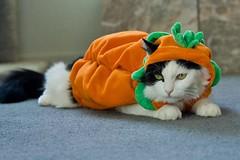 Marky Pumpkinhead (Hockey.Lover) Tags: cats halloween kittens marky halloween2008