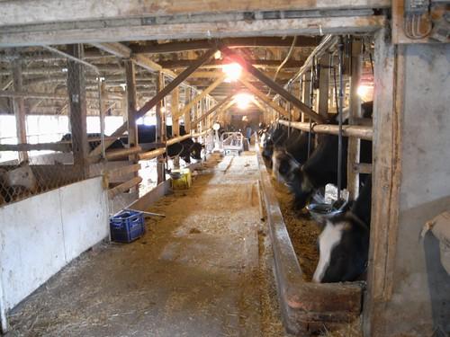 植村牧場さんの牛たち