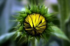 """""""Sol que girassole, (Fabiana Velso) Tags: verde folhas flor amarelo boto girassol ptalas cantiga duetos frenteafrente ceumar fabianavelso oltusfotos"""
