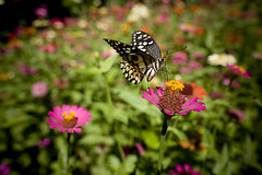 imago (Lidia Camacho) Tags: pink hot flower nature yellow butterfly garden insect suck spring wings colorful flor jardin vivid nectar wigs worm sucking mariposa proboscis imago copyrightedallrightsreserved