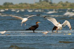 Birds of Danube Delta (raducernea) Tags: seagull romania larus sternahirundo sternacaspia laruscachinnans danubedelta donaudelta phalocrocoraxcarbo