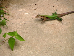 Ameiva ameiva (Amazon Race Runner) (Arthur Chapman) Tags: peru iquitos lizards reptilia ceibatops ameiva taxonomy:class=reptilia ameivaameiva geocode:accuracy=2000meters geocode:method=googleearth geo:country=peru taxonomy:binomial=ameivaameiva amazonracerunner taxonomy:genus=ameiva taxonomy:common=amazonracerunner