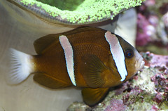 Amphiprion akindynos (brian.gratwicke) Tags: fish clown australian amphiprion akindynos