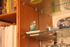 IMG_1135.JPG (Lodigs) Tags: blue pet bird budgie parakeet pal nibbler