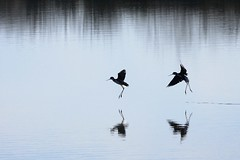 Lake Ballet (arka02) Tags: california ballet lake water birds silhouette reflections bay landing baylands twop flickrlovers arka02