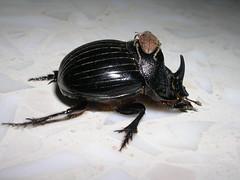 Beetle and daughter (NR_Chebba) Tags: animals insect tunisia tunis beetle tunisie coleoptera mahdia carabidae scarabaeidae chebba carabe