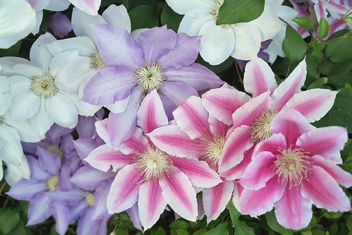 Clematis クレマチス