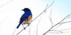 Blue Bird On Limb (D Cunningham) Tags: bluebird dcunningham carlsbirdclub