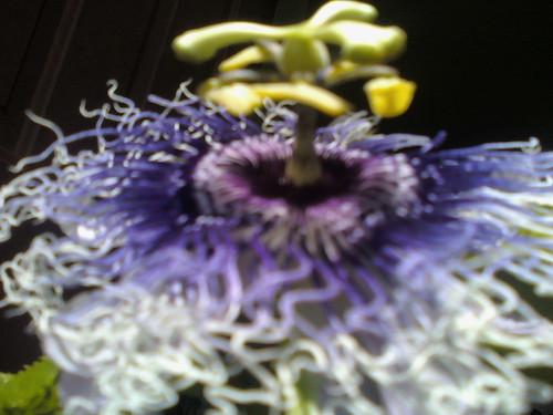 some of my passiflora 5797452686_bea116e233