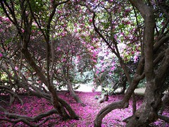 Rhododendron rotunda retreat. (davidezartz) Tags: uk greatbritain pink flowers blue trees light red england sky brown white black rome green nature leaves sunshine yellow carpet grey petals nikon shadows purple roman earth path branches roots retreat rhododendron soul firstupload ericaceae azalea shoots rotunda newcamera soe emperor philosopher marcusaurelius autofocus s4000 supershot thegalaxy untroubled quieter nikonstunningggallery abigfave 121180 diamondclassphotographer flickrdiamond citrit platinumheartaward betterthangood goldstaraward rubyphotographer dragondaggeraward platinumbestshot natureskingdom nikons4000 nikoncoolpixs4000 rhododendronrotunda rotundaretreat rhododendronrotundaretreat
