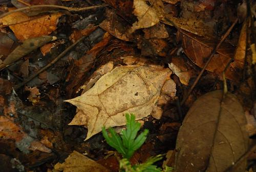 Borneo Horn Frog