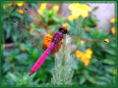 Trithemis aurora (Crimson or Dawn Downwing) with wings spread out, resting on Crossandra 'Lutea'