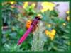 Crimson Dropwing, Crimson Marsh Glider or Dawn Dropwing (Trithemis aurora)