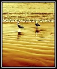 Un Paseo Por La Playa  (~ Seba ~) Tags: chile sea beach gold spider sand gulls sephia gaviotas soe seba ancud sebastin chilo themoulinrouge firstquality artedechile flickrcolour artechileno cameradeourobrasil superaplus aplusphoto superbmasterpiece diamondclassphotographer megashot theunforgettablepictures thegardenofzen thegoldendreams thegoldproject roadtotheheaven misfavoritosinvitacin magicdonkeysbest fotografachilena fotgrafoschilenos