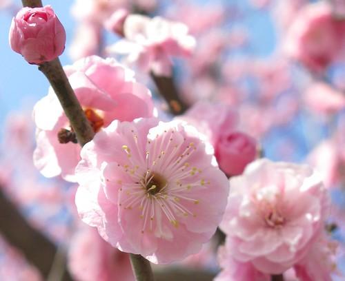 Ume / Prunus mume / 梅(ウメ)