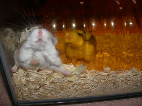 Funny roborovskis! (1) by roborovski hamsters.