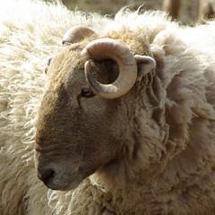 Ram (Spongefingers) Tags: brown fur sheep horns curly curled ram