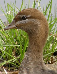 Australian Wood Duck (missmandyjane) Tags: brown bird nature water animal bill duck feathers waterbird wetlands brownbird woodduck australianwoodduck brownduck olympussp560 brownwaterbird