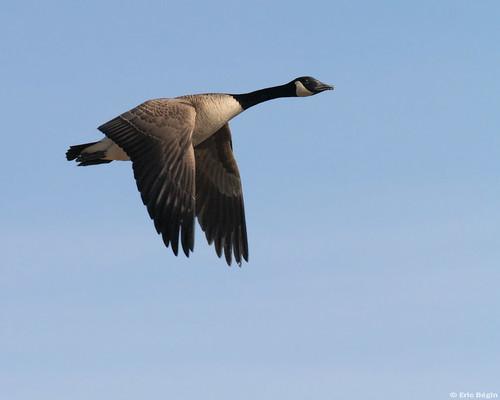 Canada Goose / Bernache du Canada  by Eric B?in.