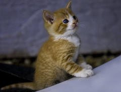 Say Your Prayers (Domain Barnyard) Tags: orange cat fun kitten may kitty domestic gato shorthair curious 2008 f28 200mm tingey domainbarnyard 78views kissablekat bestofcats canoneos40d