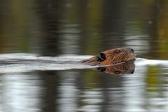 Castor (Rock Arsenault) Tags: castor faune naturewatcher