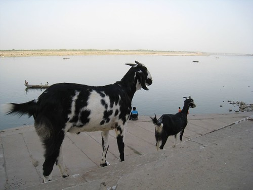 A pair of goats admire the Ganges