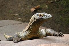 Komodo Dragon (Scottwdw) Tags: travel vacation zoo orlando nikon dragon d70 florida waltdisneyworld vr disneysanimalkingdom komododragon 18200mm yourphototips disneyphotochallengewinner scottwdw scottthomasphotography
