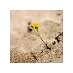 Flores2 (Jose Luis Durante Molina) Tags: flowers costa flores flower color macro planta beach fleur yellow digital coast andalucía sand dunes dune flor huelva playa paisaje arena amarillo desenfoque sur duna dunas sablon profundidaddecampo puntaumbría dephtoffield terminada cuadrada impresin joseluisdurante