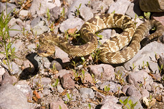 An unfortunate instinct (xoque) Tags: arizona beautiful snake rattlesnake crotalus aravaipa blacktailrattlesnake molossus