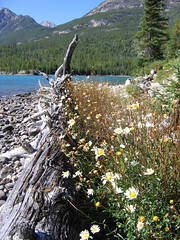 Wildflower Assault (rdcoulthard) Tags: flowers beach britishcolumbia driftwood canonpowershota95 rockymountains wildflowers gravel canadianrockies fromthearchives hamber fortresslake