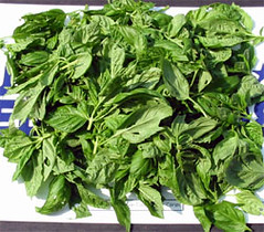 One pound of basil leaves for drying